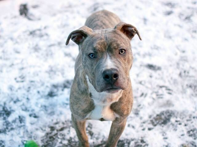 pin brindle pit bull on pinterest dog breeds picture