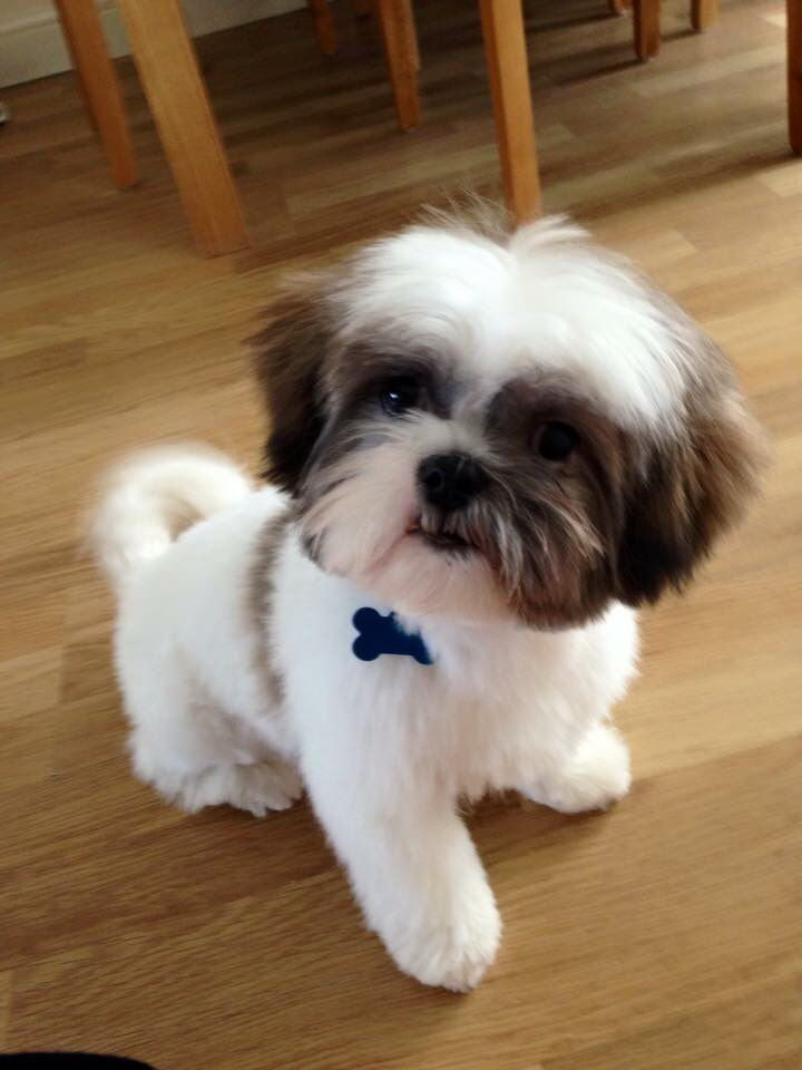 Must love dogs and pet stuff on pinterest shih tzu for Best dog breed for you