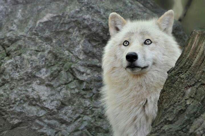 beautiful blue white wolf - photo #39