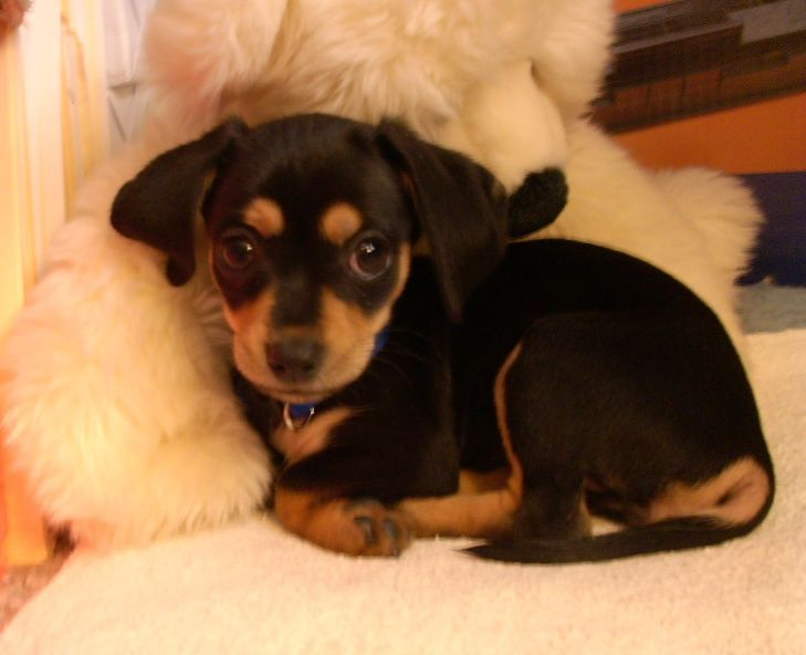 black and tan chiweenie - Google Search | Animals | Pinterest