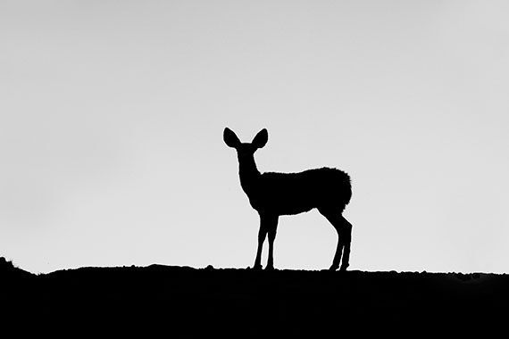 black and white photography,deer,silhouette of a deer,nature photo,fine art photography,animal print,minimalist print,black and gray. $45.00, via Etsy.