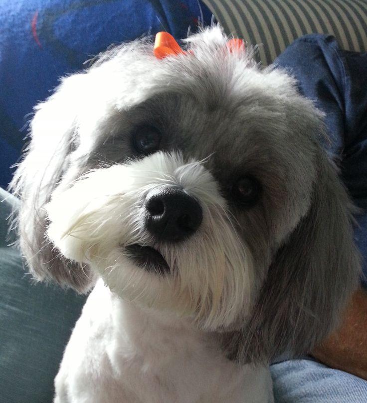Beautiful ShihPoo Puppy Haircut