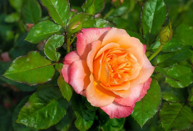 Résultat d'images pour jolies roses fleurs