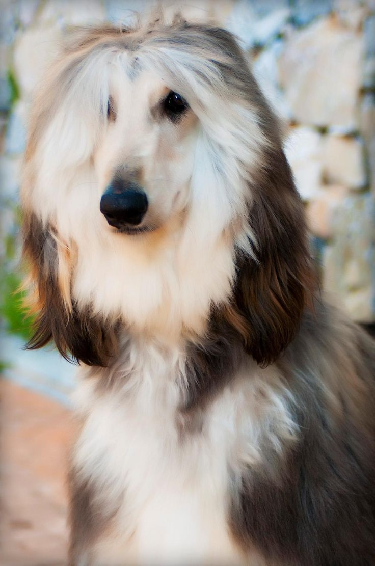 Afghan Hound Dogs | Dogs: Afghan Hound | Pinterest