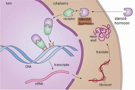second messenger steroid hormones