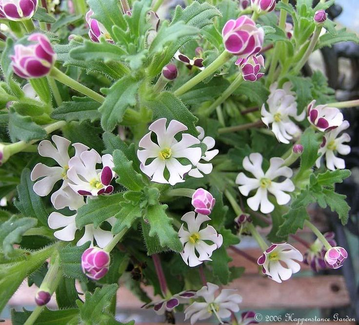 Night Phlox (Zaluzianskya ovata), snowflake flowers are strongly fragrant at night; 1 by 2 feet.
