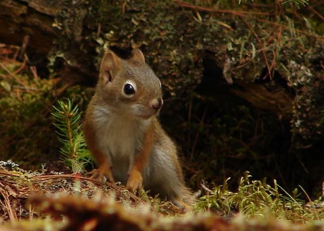 Baby red squirrels - photo#19