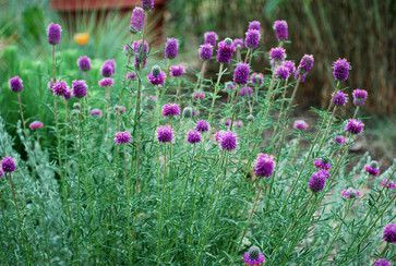 Purple Prairie Clover is a drought-tolerant plant that will attract birds bees  butterflies to your Colorado garden
