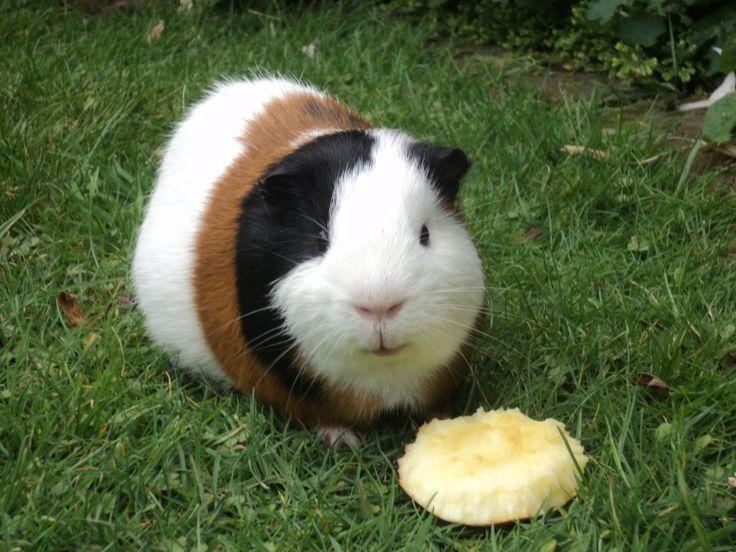 how to teach your guinea pig to follow you
