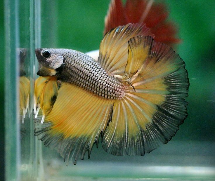 yellow betta | Copper yellow | Betta (Fighting fish ...