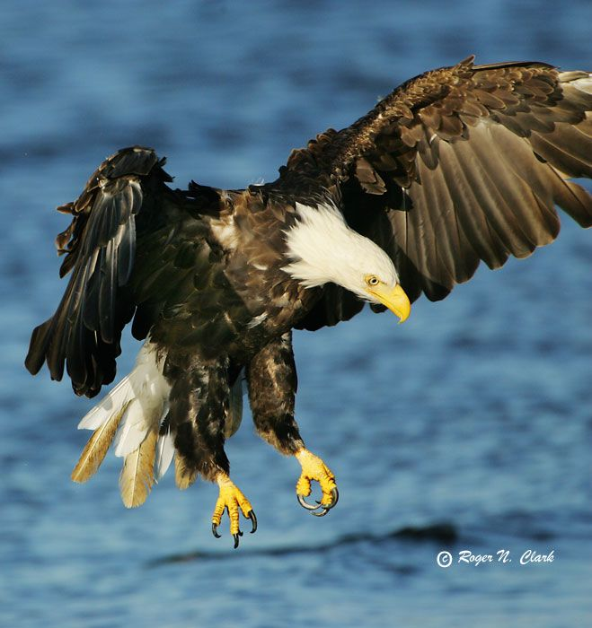Eagle catching fish birds pinterest for The fish 95 5