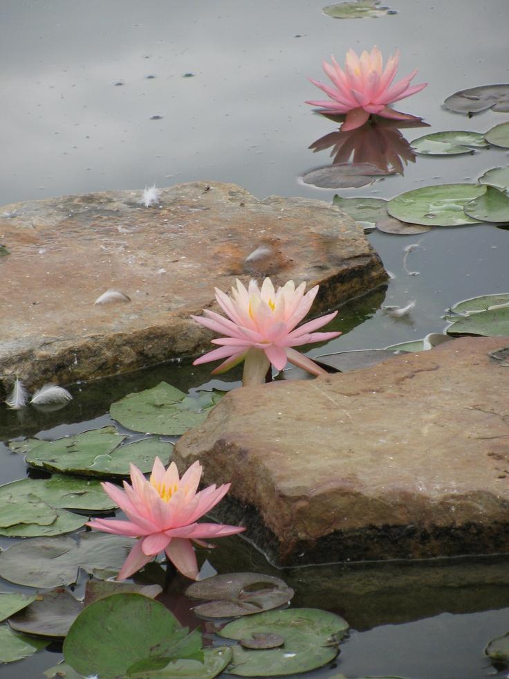 Water lilies 1 - Chicago Botanical Garden