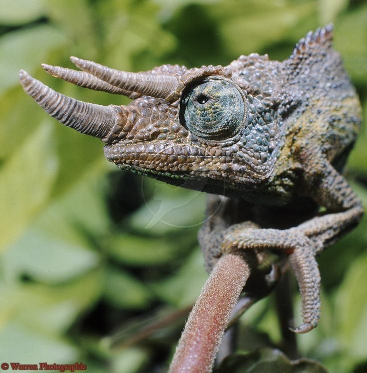 Chameleon Horns: Pin By Kirsten Oulton On Chameleon