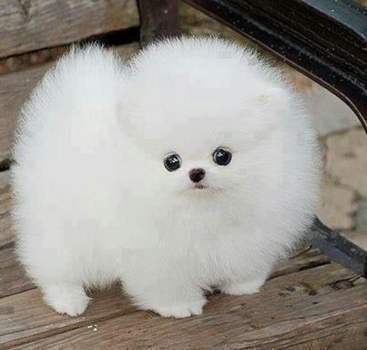 doggy puffy