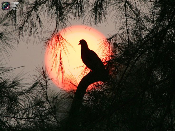 Dove at sunrise