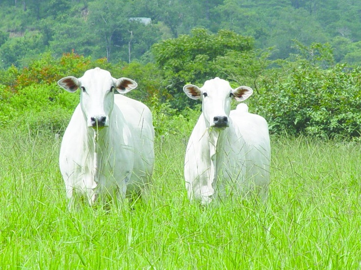 La raza Nelore Mocho es la raza cebuína con orejas más cortas. Tienen gran capacidad para desplazarse a grandes distancias.