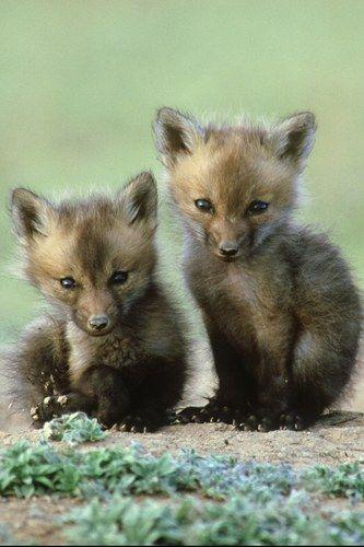 Baby fox pups | Cute | Pinterest