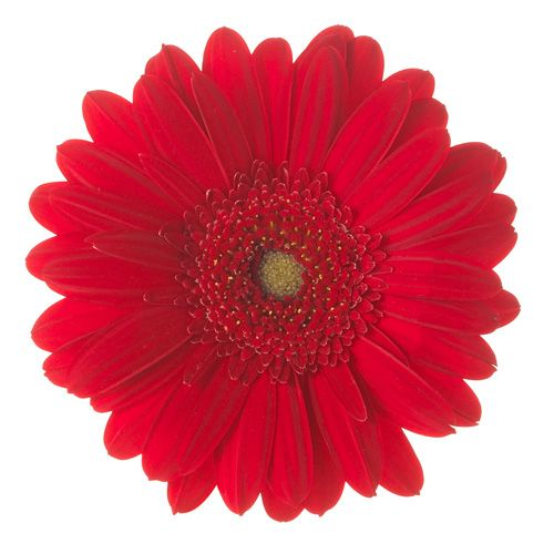 Gerbera Daisies are stunning flowers which can often be found in bouquets and arrangements of wedding flowers and event decor. GrowersBox.com offers a wide variety of Gerbera Daisies in a rainbow of different colors. Shipped directly from flower farms in California, these beautiful bulk flowers are available year-round at low wholesale prices! Visit GrowersBox.com for more information.