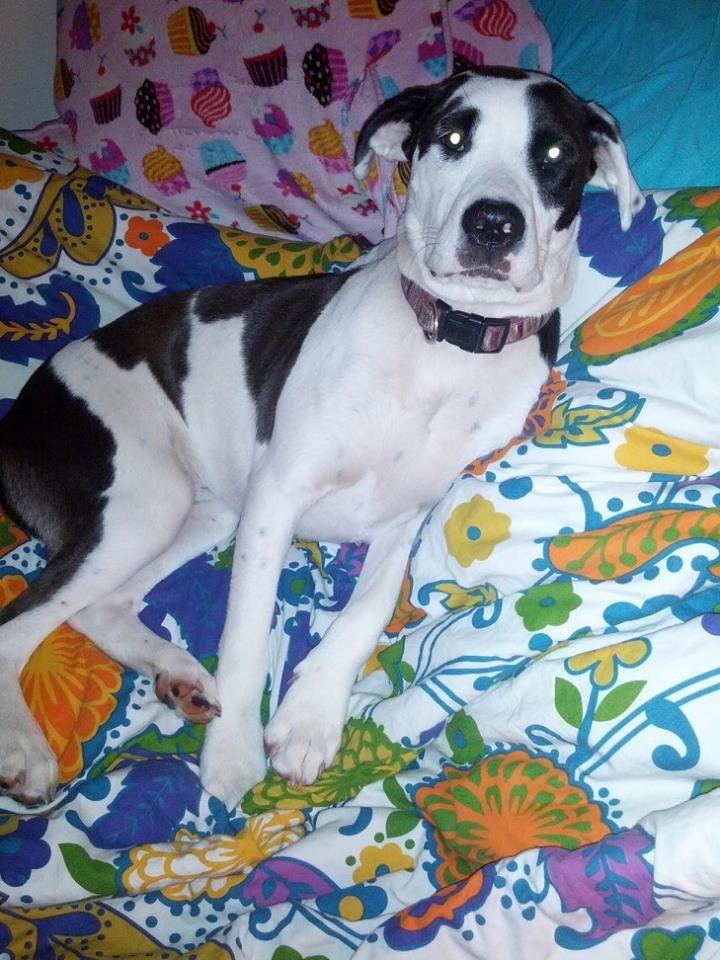 My Great Dane/American Bulldog mix puppy Angel