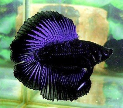Double tail betta fish japanese fighting fish or betta for Purple betta fish