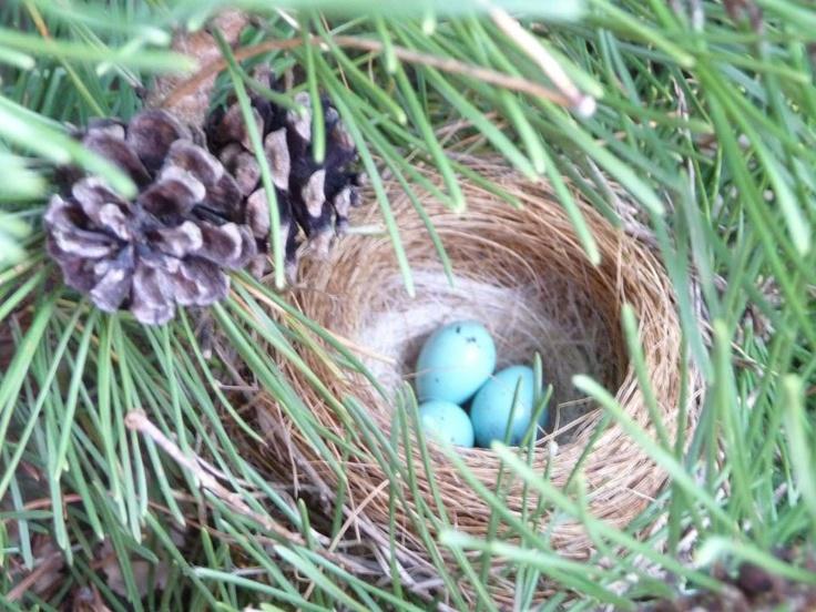 Purple Finch Nest Purple Finch nest. | B...