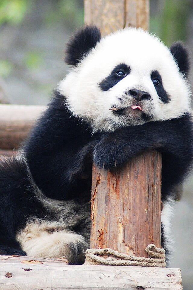 Cute Panda | newhairstylesformen2014.com