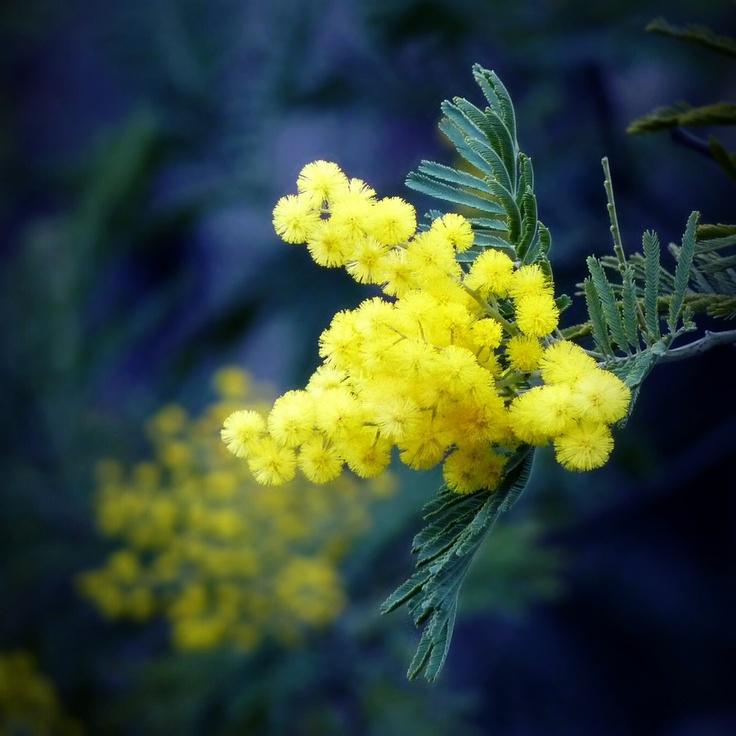 Mimosa | Les mimosas | Pinterest