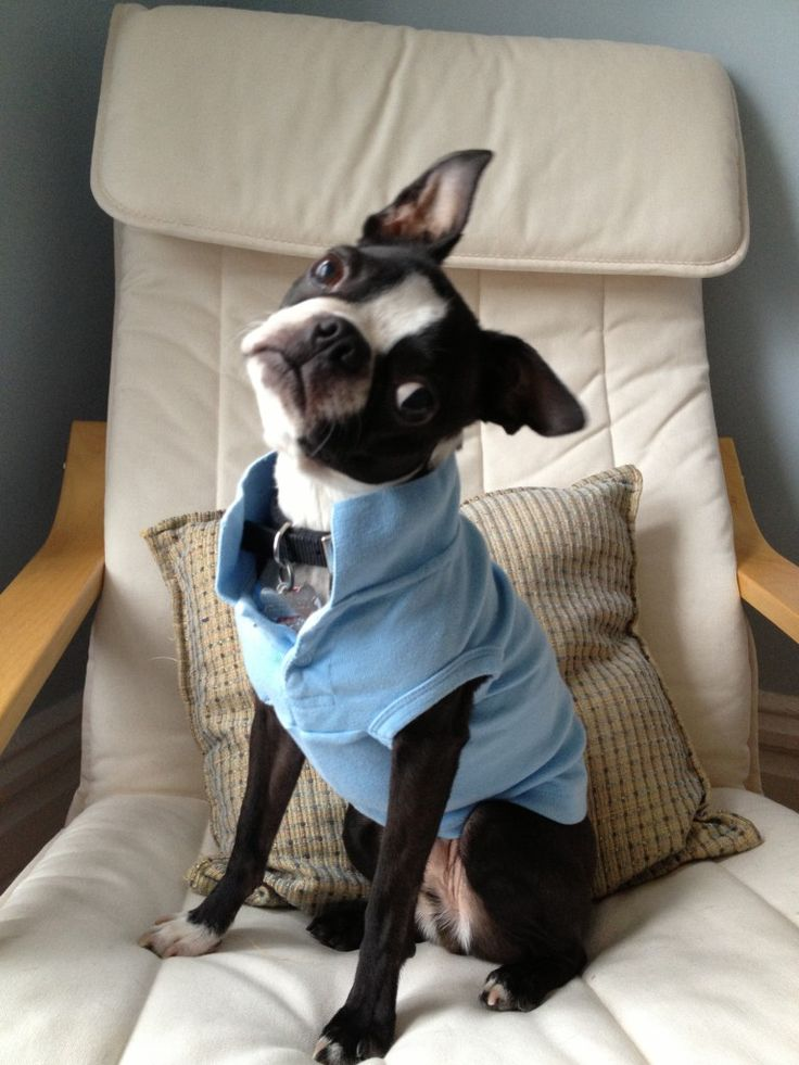 Brophy the Boston Terrier is quite the looker.