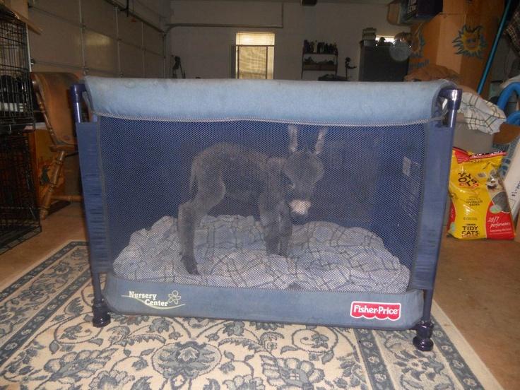 My friends newborn donkey. - Imgur