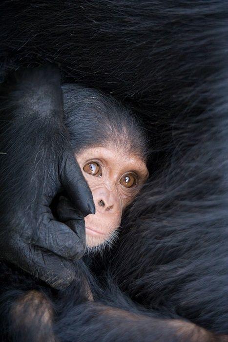 Six month old chimpanzee with Mom. Sweetwaters Chimpanzee Sanctuary, Kenya