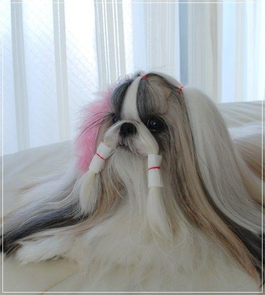 Shih Tzu Long Hair