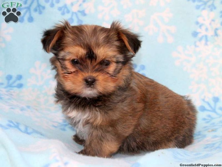 Andy, shorkie puppy for sale from Quarryville, PA | Art I Love