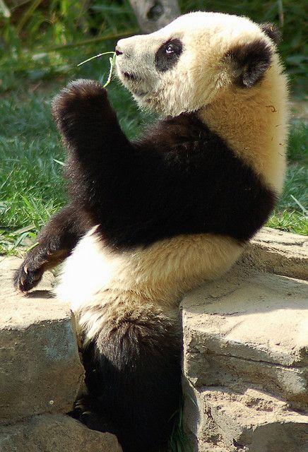 Panda - Page 2 5c1df12c189f1bc9004f4dda9de144c0