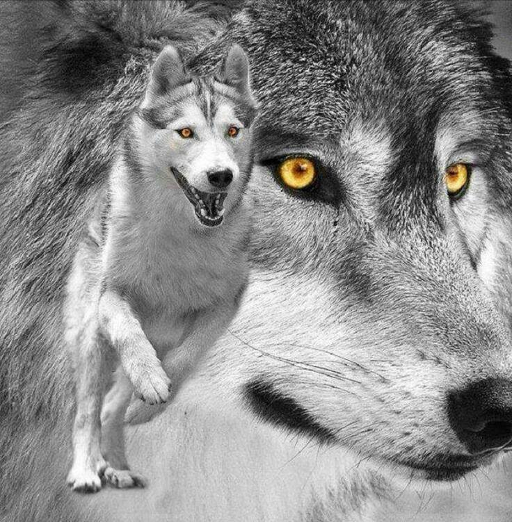 PAcks of the rising shadows (A wolf RP) 5c2e802d761fd68c0da105fff1b4bd90