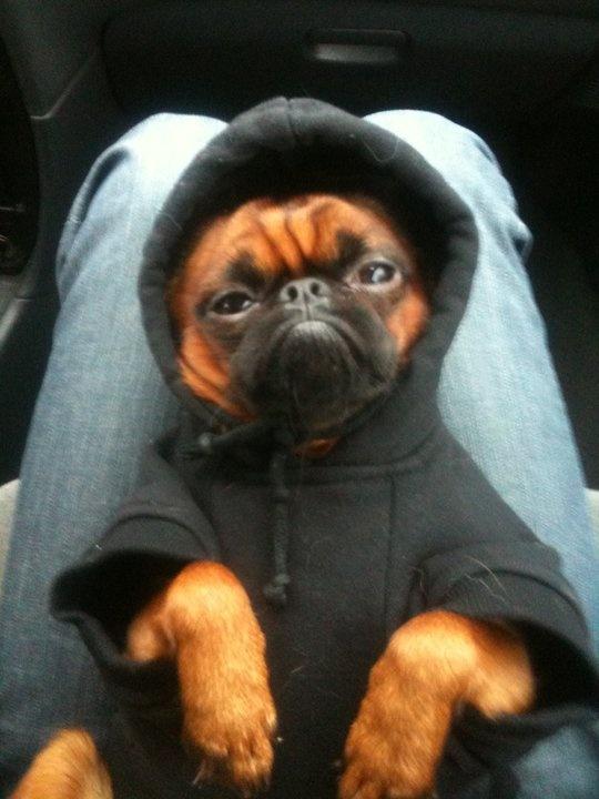 little pug gangster