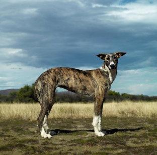 Retratos de perros salvajes africanos