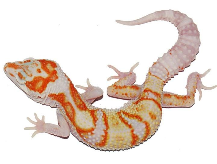 Hall of Fame Leopard Gecko