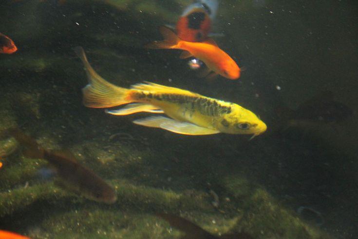 Yellow butterfly koi koi pinterest for Yellow koi fish