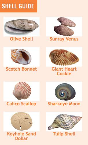 Communication on this topic: How to Clean and Polish Seashells, how-to-clean-and-polish-seashells/