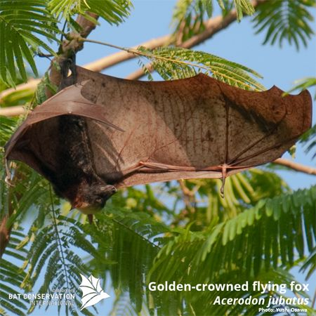 Golden crowned flying fox pet
