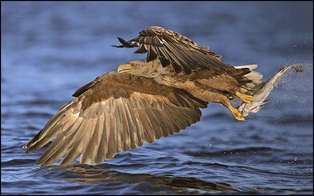 Sea Eagle Fishing by Miguel Lasa