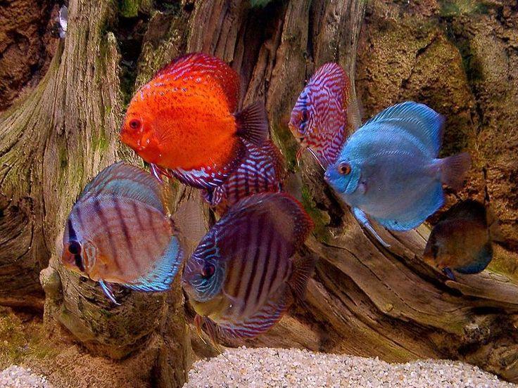 Very pretty here fishy fishy pinterest for Pretty freshwater fish