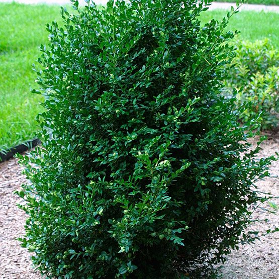 Green Mountain Boxwood Unsheared The House Pinterest