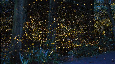 Magical (long exposure) fireflies by Tsuneaki Hiramatsu