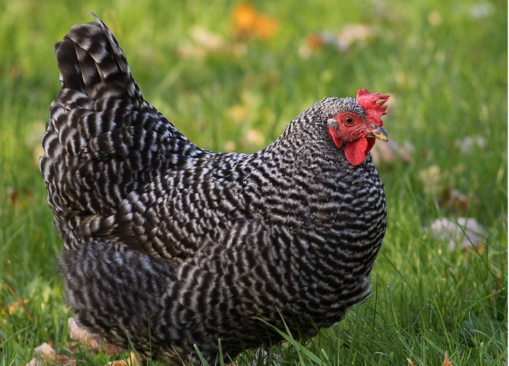 Barred Plymouth Rock hen | ~backyard - 152.9KB