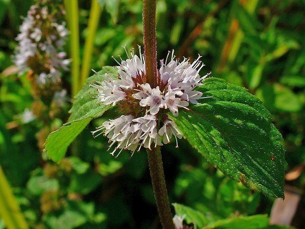 Böcek ve haşarat kovucu bitkiler yaz akşamları açık havada