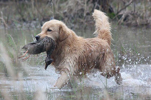 Golden-Retriever_001 | Hunting Dog Breeds | Pinterest