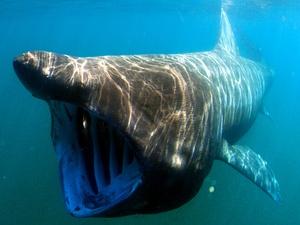 """The Basking Shark of the Pacific was recently placed onto the species watch list.This graceful giant grows up to 30' long and opens its mouth to filter krill out of the water with """"gill rakers"""". Its tiny teeth only this size of half of a grain of rice!"""