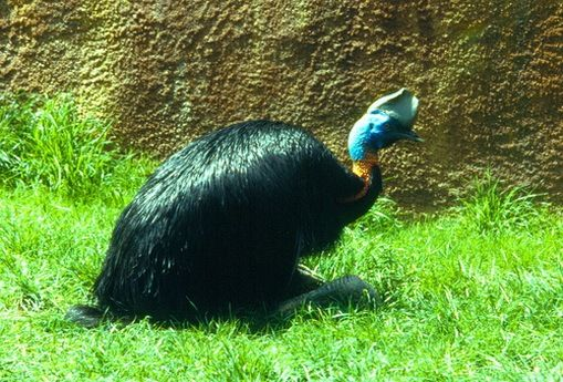 Cassowaries, an endangered species, are large, flightless birds that live in the rainforests, woodlands and swamps of Australia. Cassowaries are unpredictable, aggressive and are known to kick up their large, clawed feet. Their kicks are capable of breaking bones, and their claws have been likened to daggers.