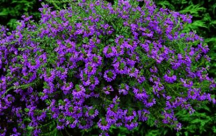 Scaevola great in a hanging basket or draping one the - Suspension pour plante exterieur ...